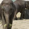 アジアゾウ Elephas maximus