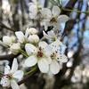 一気に春がやってきたケンタッキー州…  ジューンベリーが美しい。