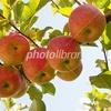 りんご園 秋 秋田県美郷町 雁の里
