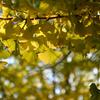 祖父江の銀杏祭りに行きました @稲沢 そぶえイチョウ 黄葉まつり