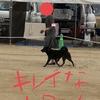 甲斐犬サンの挑戦の巻〜当日朝編 岡山全犬種クラブ展〜