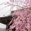 富山の桜(2):富山市八尾町