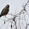 ジィちゃんと探鳥、宮ヶ瀬湖のイカル・マヒワ他2021-01-17