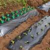マルチをかけてポット苗の移植|家庭菜園の初マルチ化