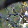 シメ・ミヤマホオジロ・ヤマシギ(大阪城野鳥探鳥 2018/11/03 5:45-12:45)