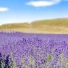 【夏旅行おすすめ】ニュージーランド南島最大のラベンダー畑