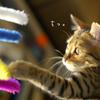 猫の特発性膀胱炎の原因