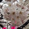 【知れば更に楽しめる!】『お花見』をする意味/語源/メリット/おすすめスポットをご紹介♪