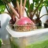 水道管の継ぎ手でカブの栽培実験。成功すれば好きな大きさで収穫できます