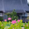 今年はたくさんの花:無量寺のハス