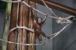 オランウータンの高い身体能力にビックリ! @2月の旭山動物園