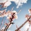 ♪アンズも咲いたがぁ~、桜は~まだかいなぁっ♪