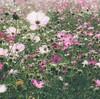 秋桜と鈴虫(30秒で読める。)