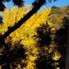 吉野工芸の里「御仏供養杉」と紅葉