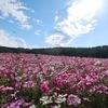 約30万本のコスモスが楽しめる!長岡市「越後丘陵公園」
