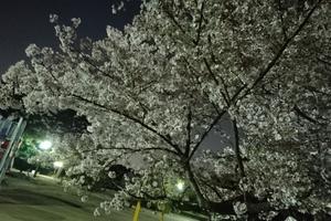 緑地公園へ友達と夜桜を楽しんできました