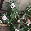 咲いてくれた私の沈丁花