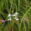 草の中で咲くダイサギソウ