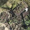 黒豆の定植