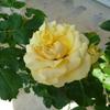 「ハープシコード」の二番花