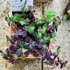 🌵多肉植物   紫蘇の様なシンガールブラ他🌵