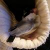文鳥冬の陣~我が家の若様の冬支度~