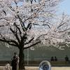 金沢21世紀美術館の桜