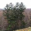 クリスマスの木といえば…-295.モミ-