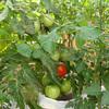 袋栽培のトマト