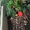 イチゴが収穫時期