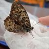 樹液にやってくる茶色い蝶 サトキマダラヒカゲ