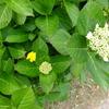 紫陽花の隣で 黄色いお花の隣で 一緒に咲いています