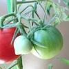 今朝のベランダ菜園 ナスビとキュウリを収穫そしてイチゴの再開花
