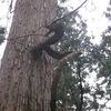 杉並木に現れた竜の杉(五泉市蛭野)