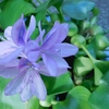 🌺 ホテイアオイの花が咲きました。