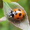 テントウムシ(天道虫)は幸運を呼ぶラッキーな虫?それとも怖い虫?