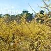 大阪城公園梅林のロウバイ