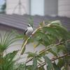 【見つけた図鑑◉野鳥】エナガ&オナガ