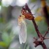 「羽化」の蝉の繊細さ「空蝉」の儚さ…そして蝉の死にざまの「ぶざま」さを想う