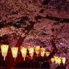 東京の桜開花情報✿上野公園の桜 ライトアップ!