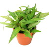 (水草)素焼き鉢 ポリゴナムsp.ピンク(水上葉)(無農薬)(1鉢) 北海道航空便要保温