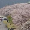 家山の桜は見頃過ぎ ~対岸と広場の桜~