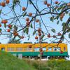 しぶ柿の木と地鉄電車