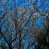 木場公園の早咲きの梅が満開