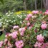 開花が続くシャクナゲ
