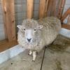 羊の毛刈り。生命を頂いているニット製品。