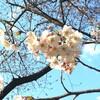 七分咲き 谷中の桜開花状況4月3日(月)