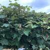 コガネムシなんでしょうか、ブドウの葉を食害しております