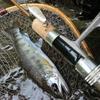吉田川本流 アマゴ バラシが多くて釣れたのは1尾だった 2014年6月14日