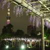 亀戸天神社の藤まつり~ライトアップ~